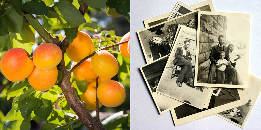 Like an apricot tree, your family history stuff has to be pruned to be enjoyed.