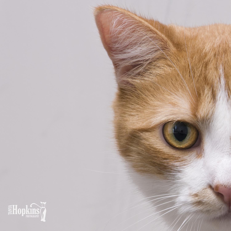 Orange_and_White_Cat.jpg