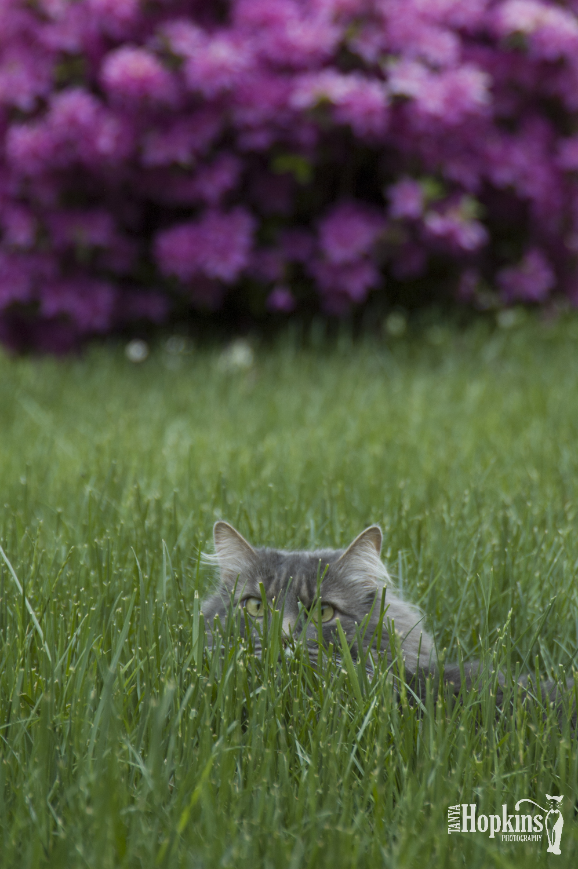 Grey_Maine_Coon_Cat.jpg