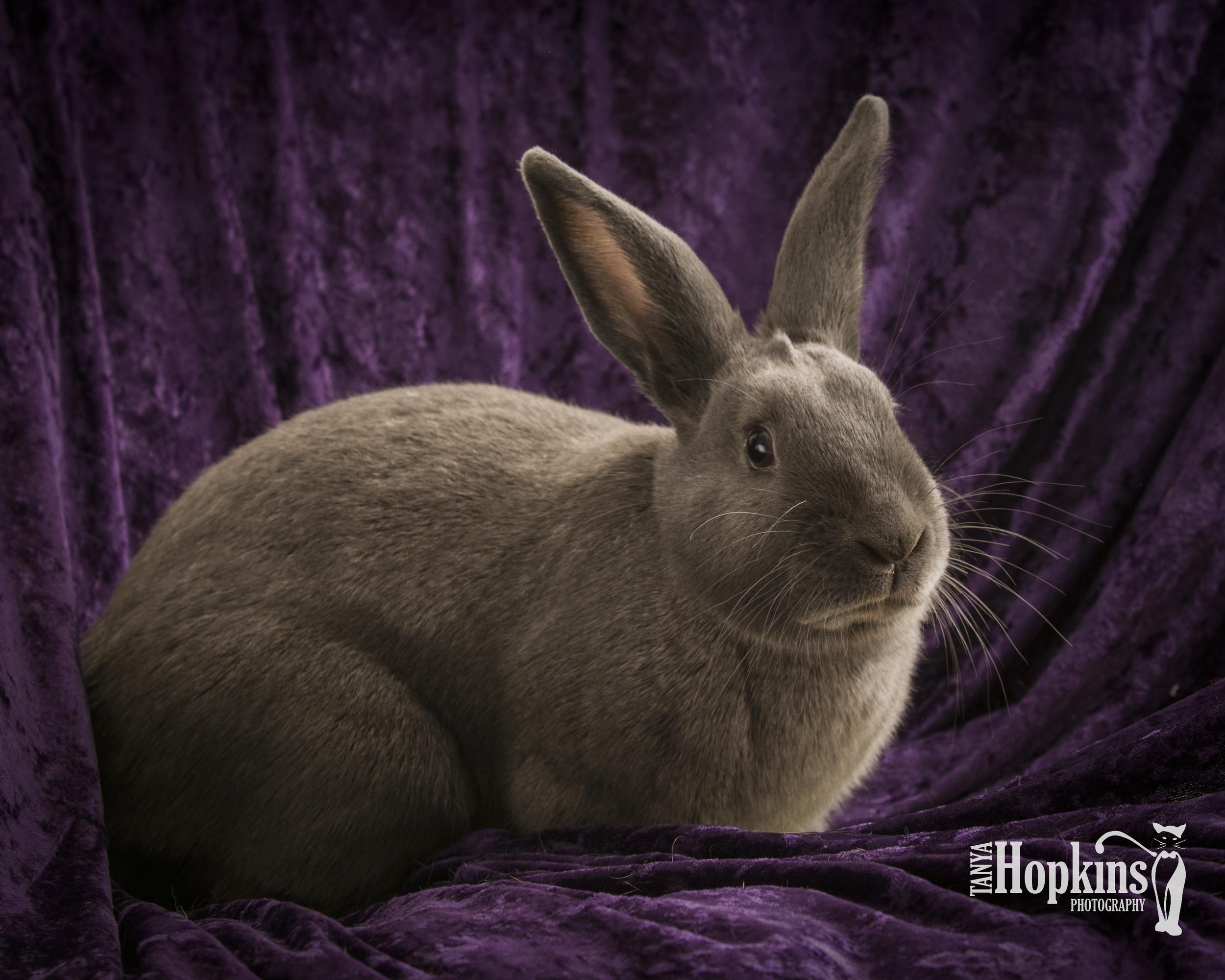 Grey_Bunny_Photo_Clyde_176.jpg