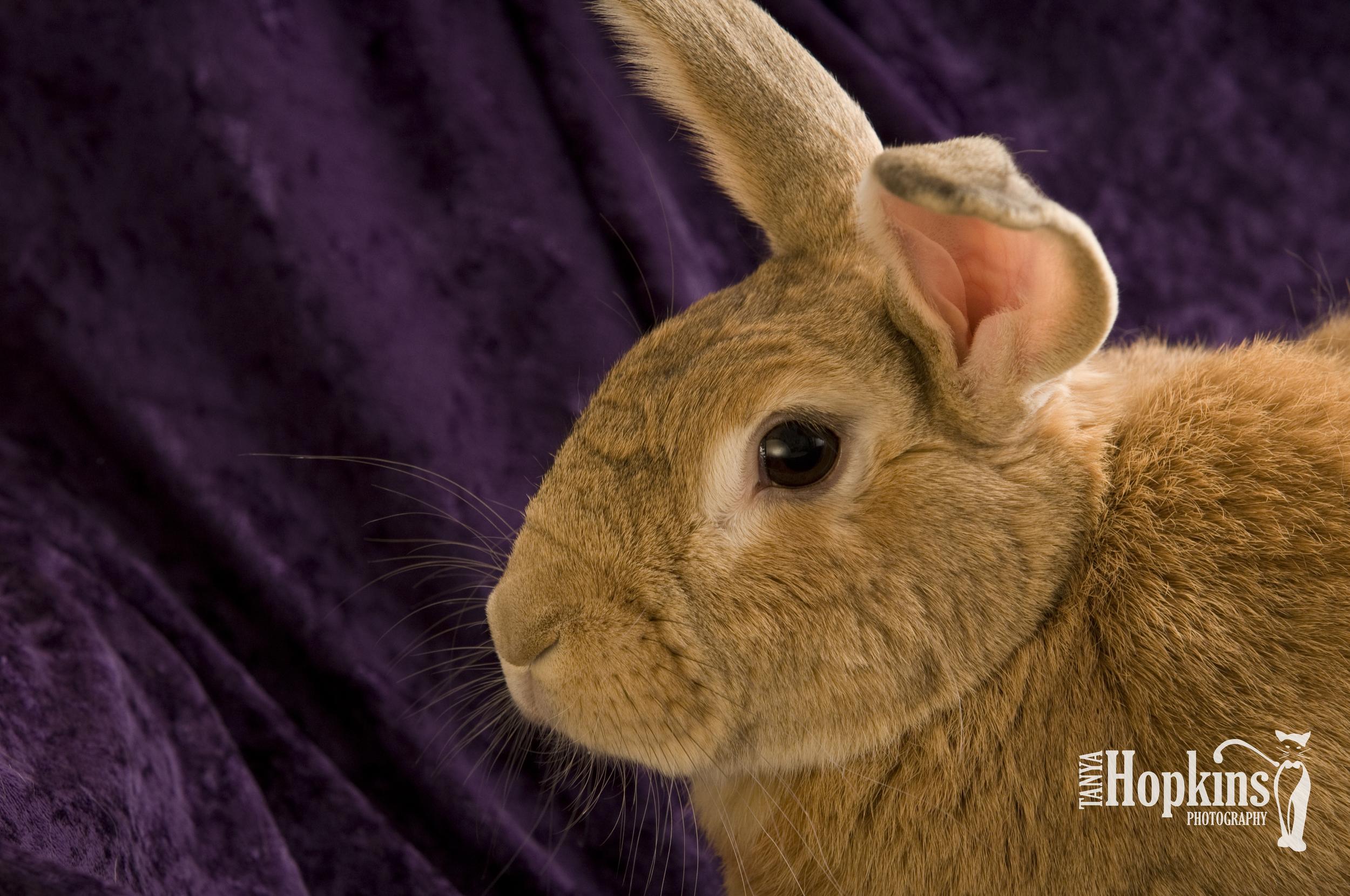 Flemish_Giant_Rabbit.jpg