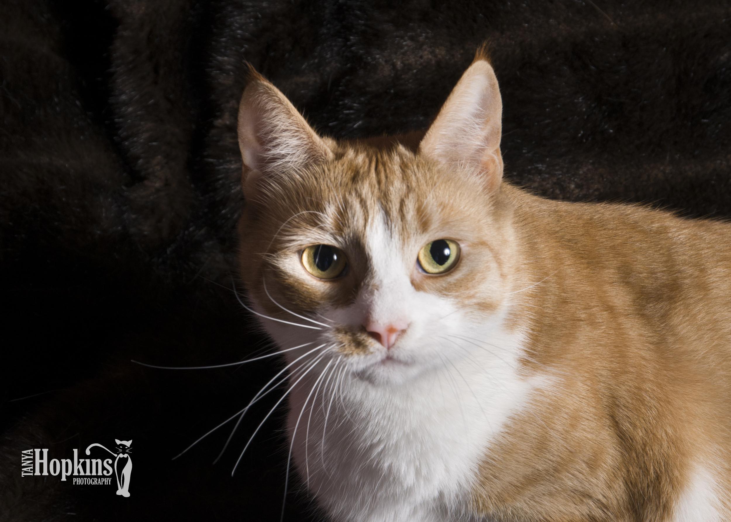 Orange_Short_Haired_Cat_Coatesville_PA.jpg