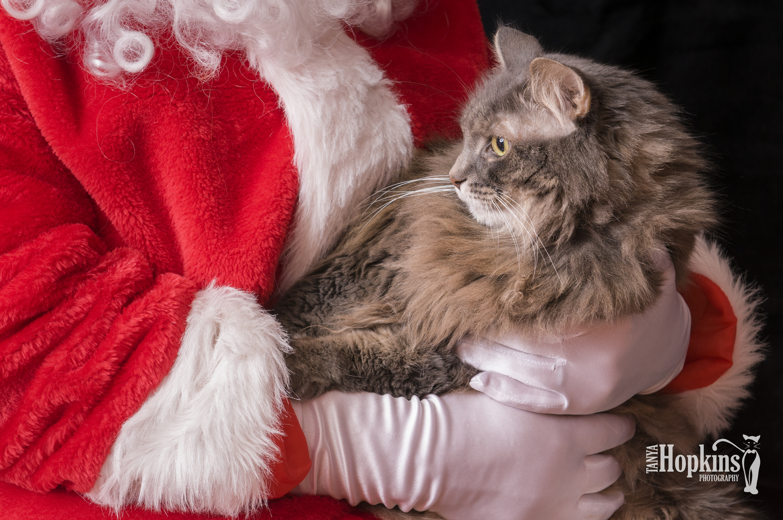 Maine_Coon_Holiday_Card-6724.jpg