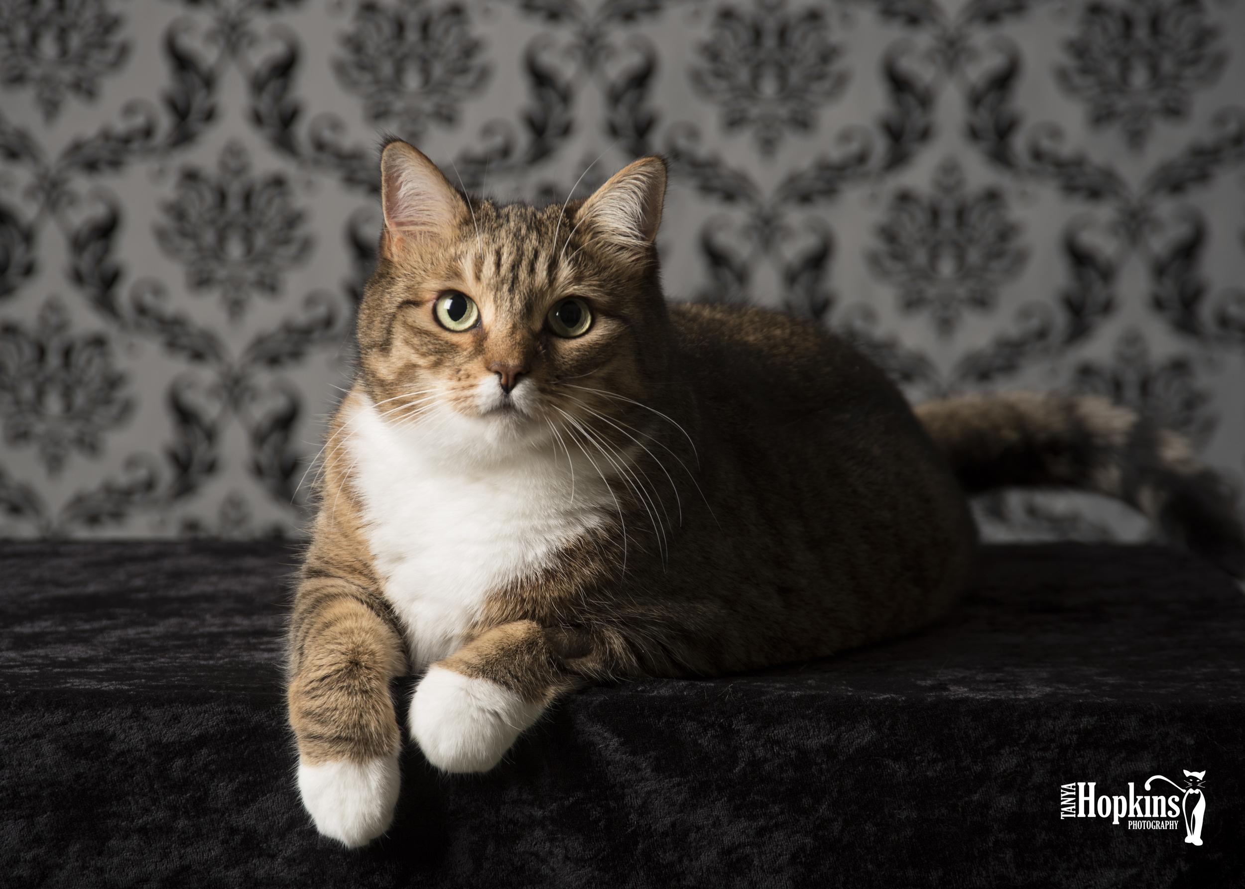 Domestic_Short_Hair_Cat-1672.JPG