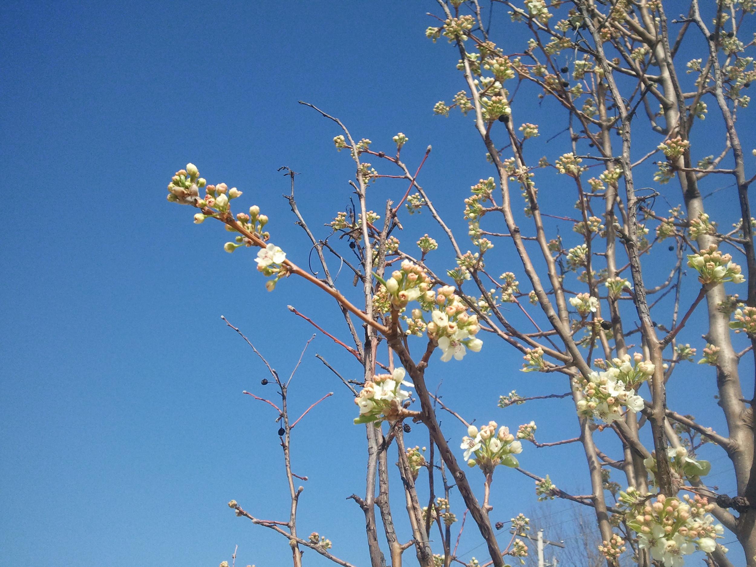 Springtree.jpg
