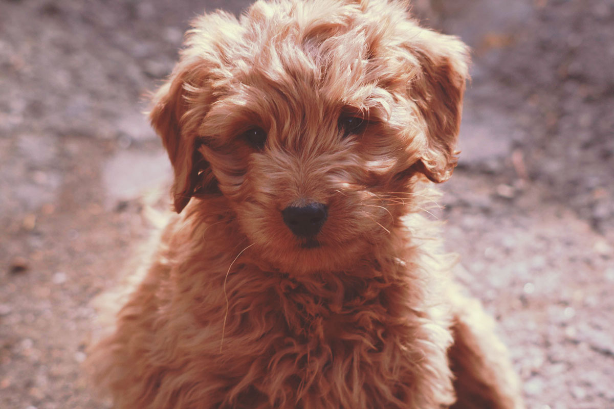 The cutest Goldendoodle puppy ever.