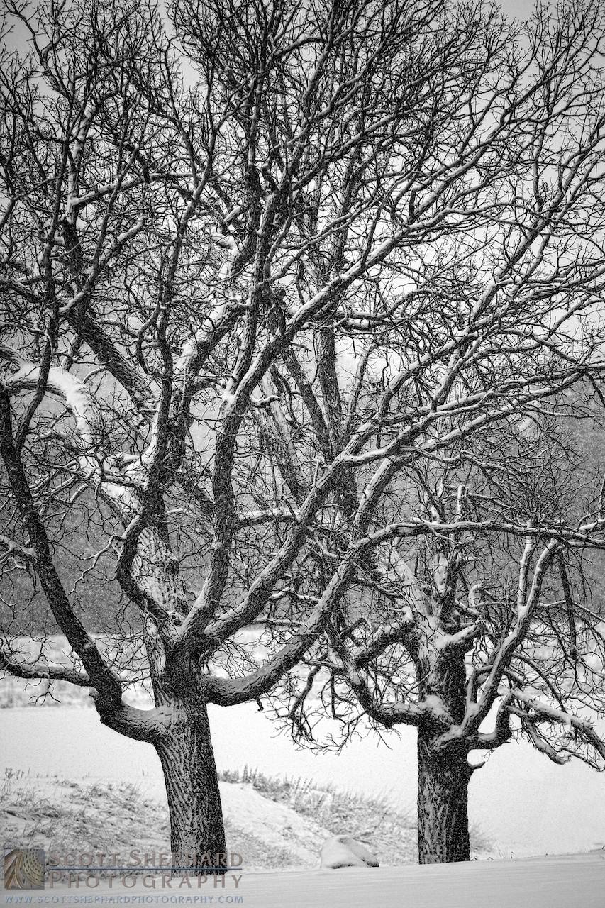 Snow Covered Oak Tree - Lakota Lake, Black Hills, South Dakota.jpg