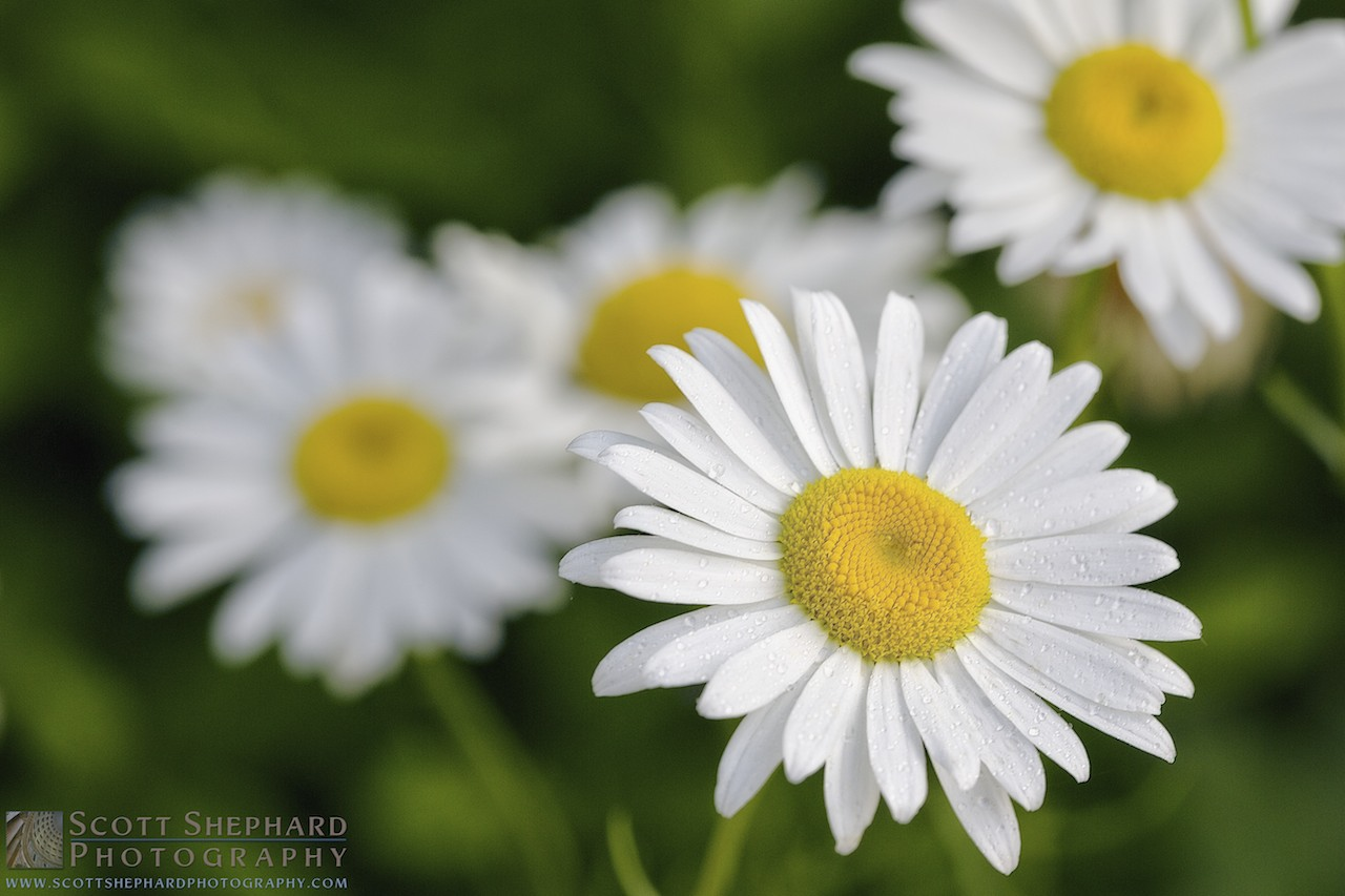 2014 07-07 Back to the Daisies by Watertown, South Dakota, photographer Scott Shephard