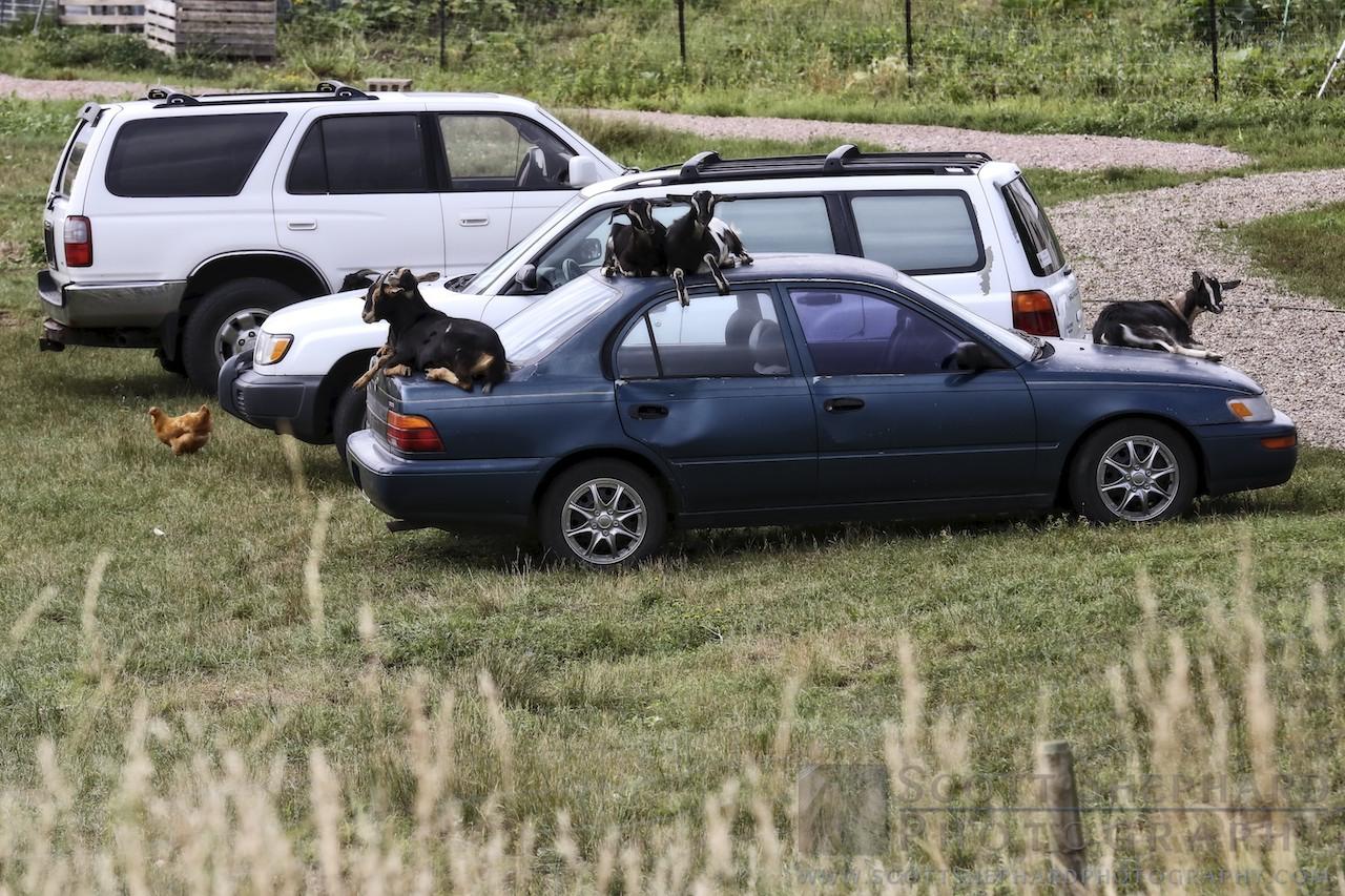 Goats on Car.jpg
