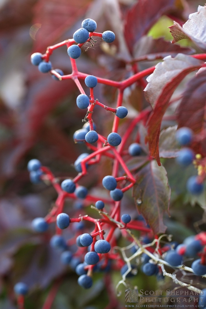 This photo a a vining plant and its berries was taken by Watertown, South Dakota, photographer Scott Shephard