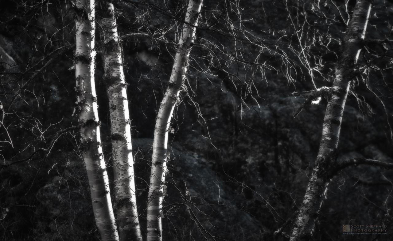 Birch trees in fall.jpg