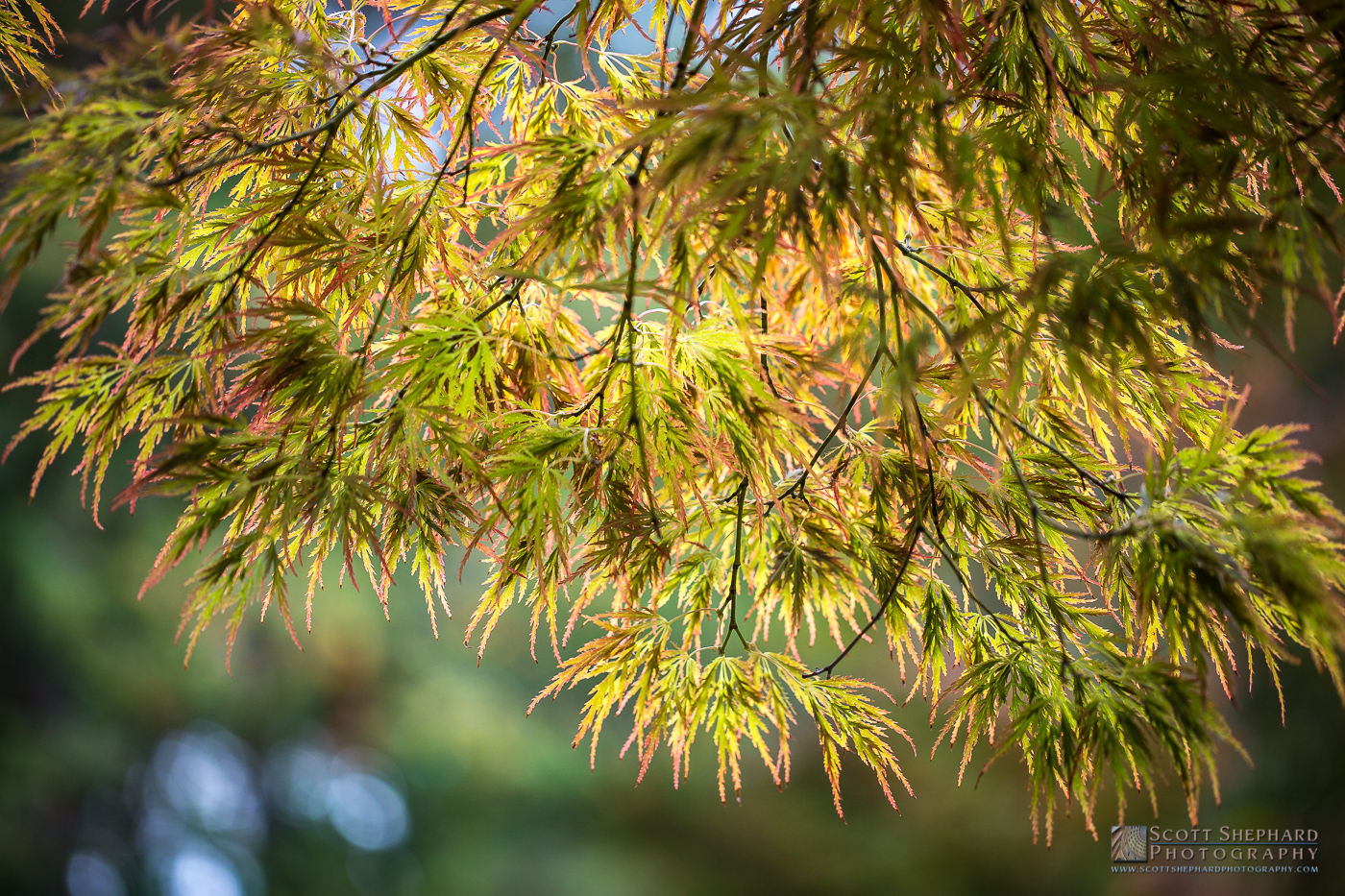 Backlit Japanese Maple Leaves.jpg