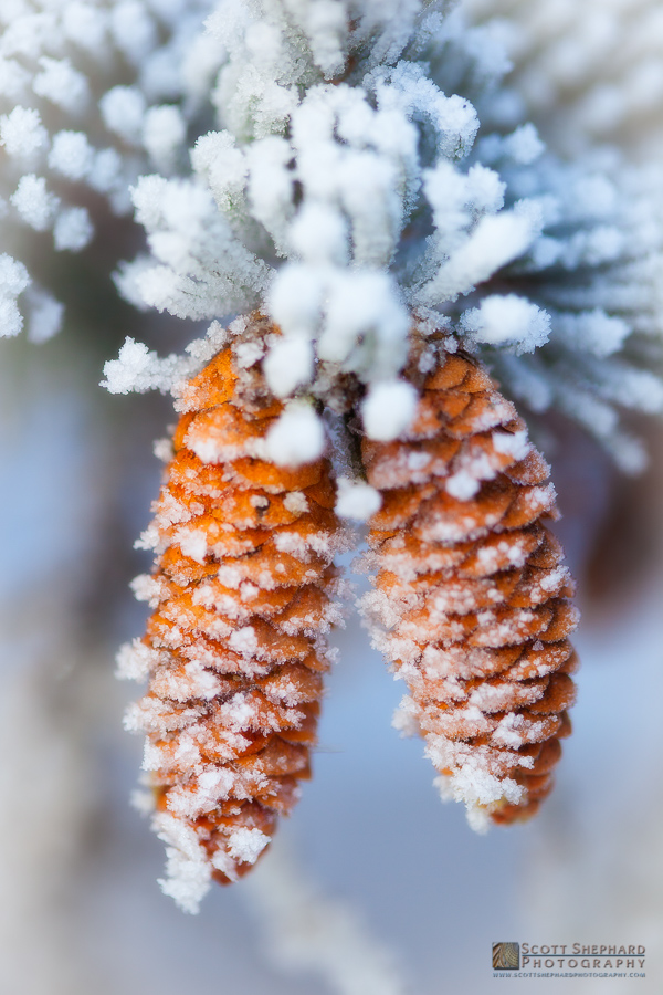 Frost Covered Pine Cones.jpg