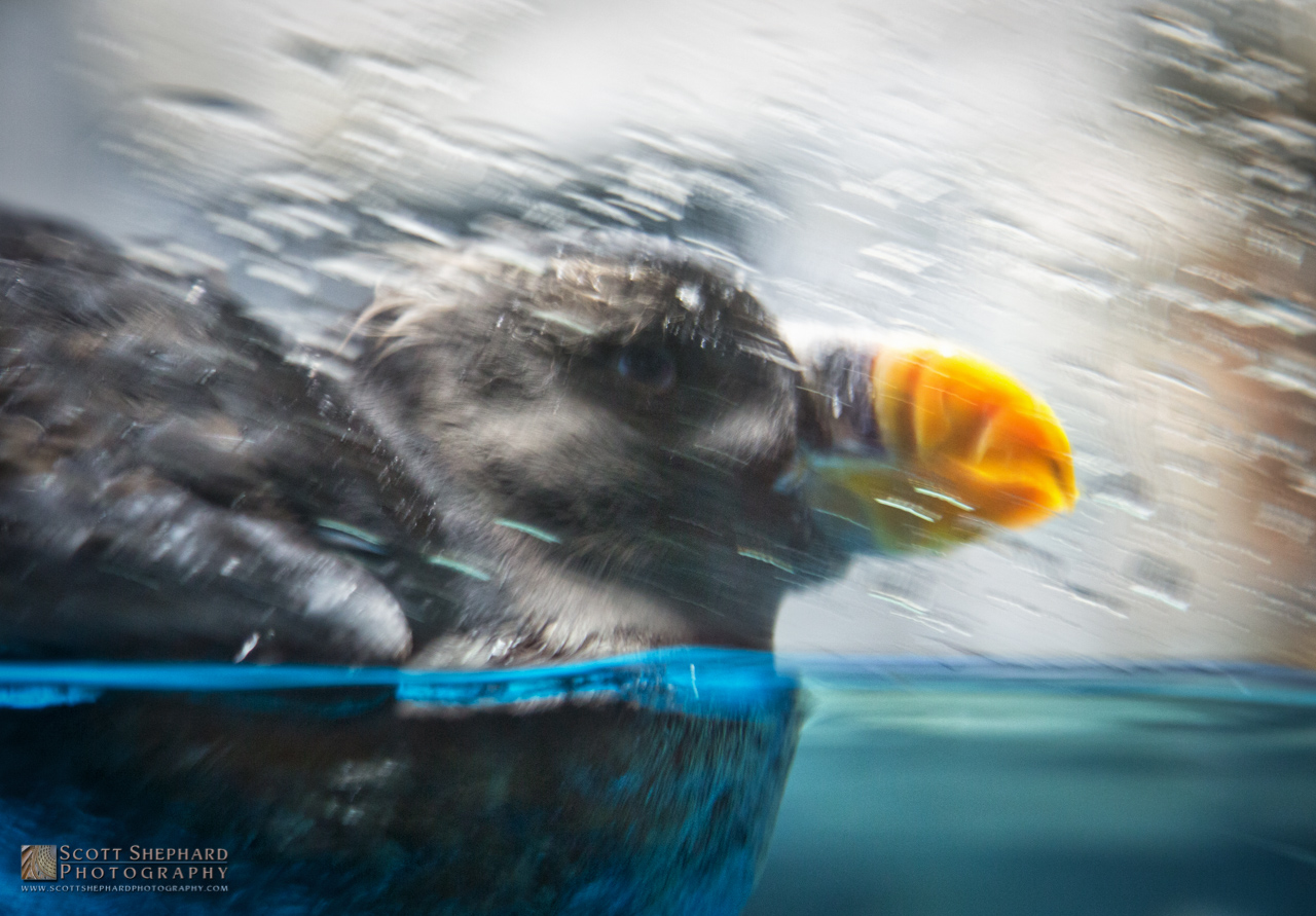 Puffin at the Como Park Zoo.jpg