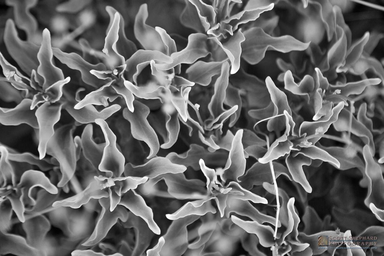 Desert Flower in B&W.jpg