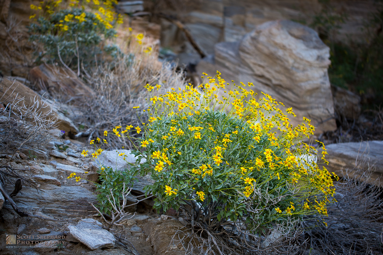 Flowering Plant - Indian Canyons.jpg