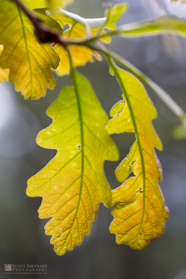 Young Oak Leaf.jpg