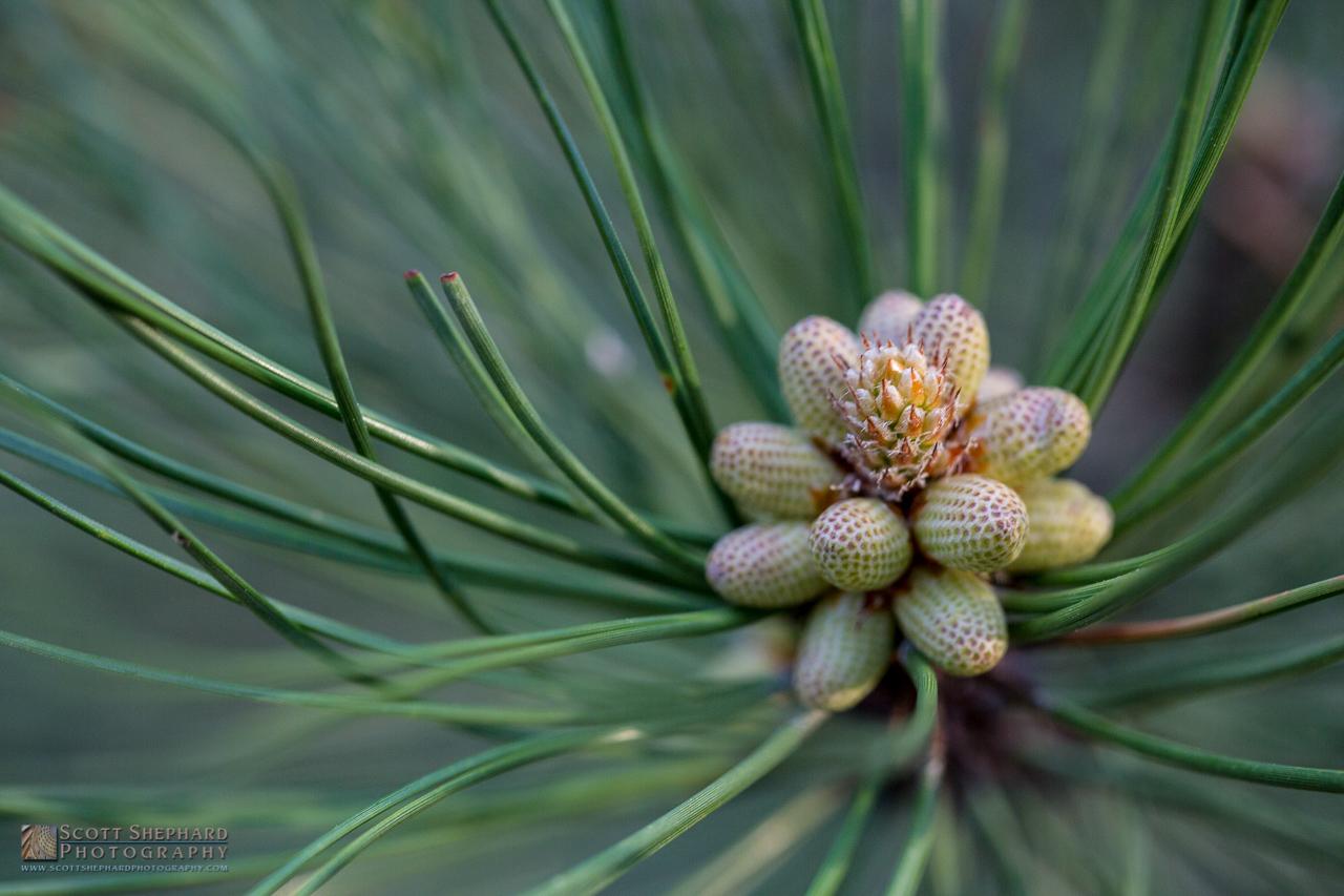 Pine Cone Flowers.jpg