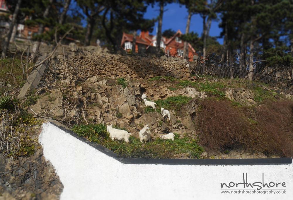 Goats-Llandudno-picture.jpg