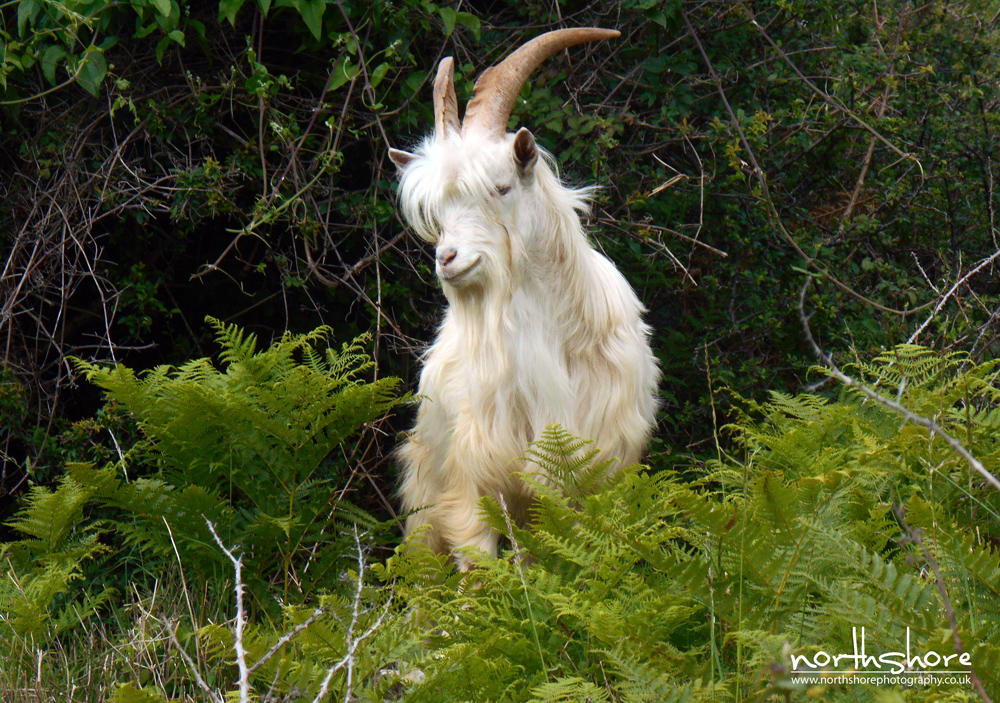 Great-Orme-goat-picture3.jpg