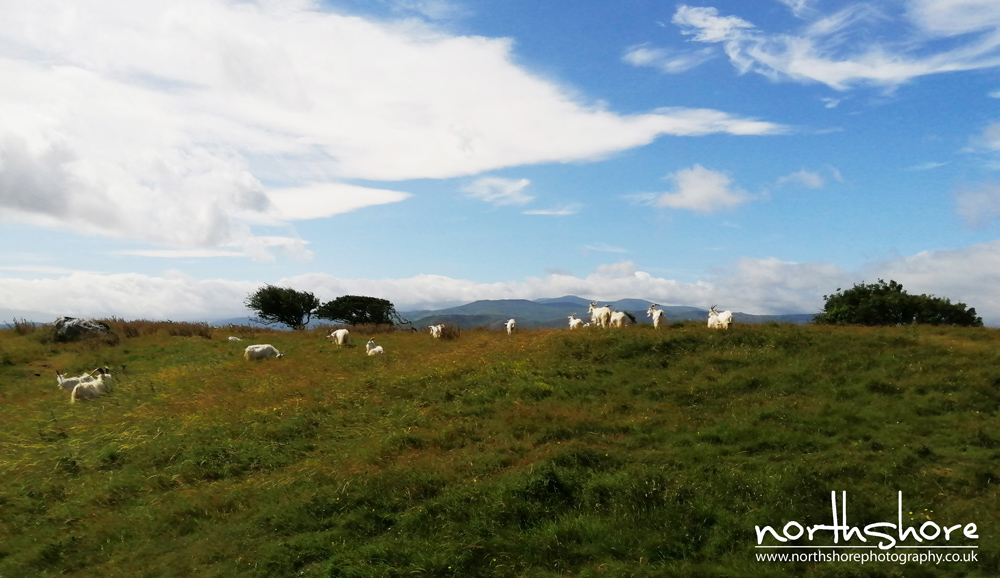 Great-Orme-goats-picture.jpg