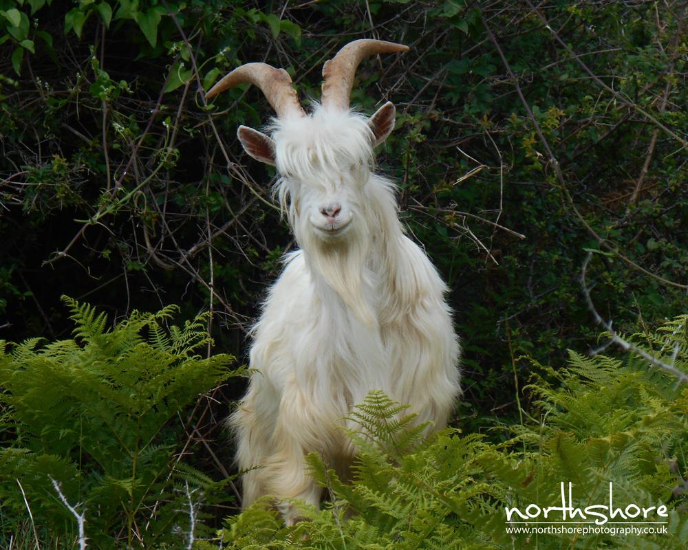 Llandudno-goat-picture.jpg