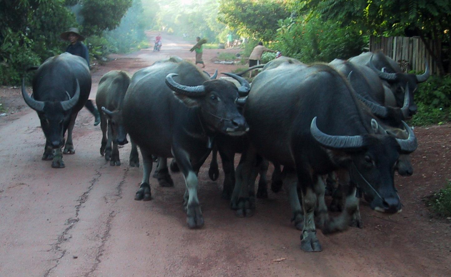 buffalo01.jpg