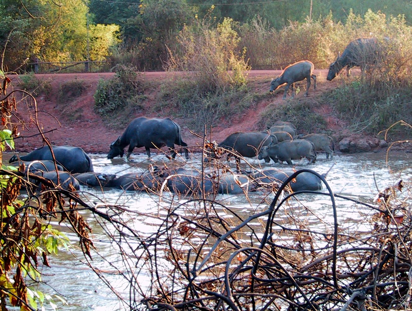 Water buffalo02.jpg
