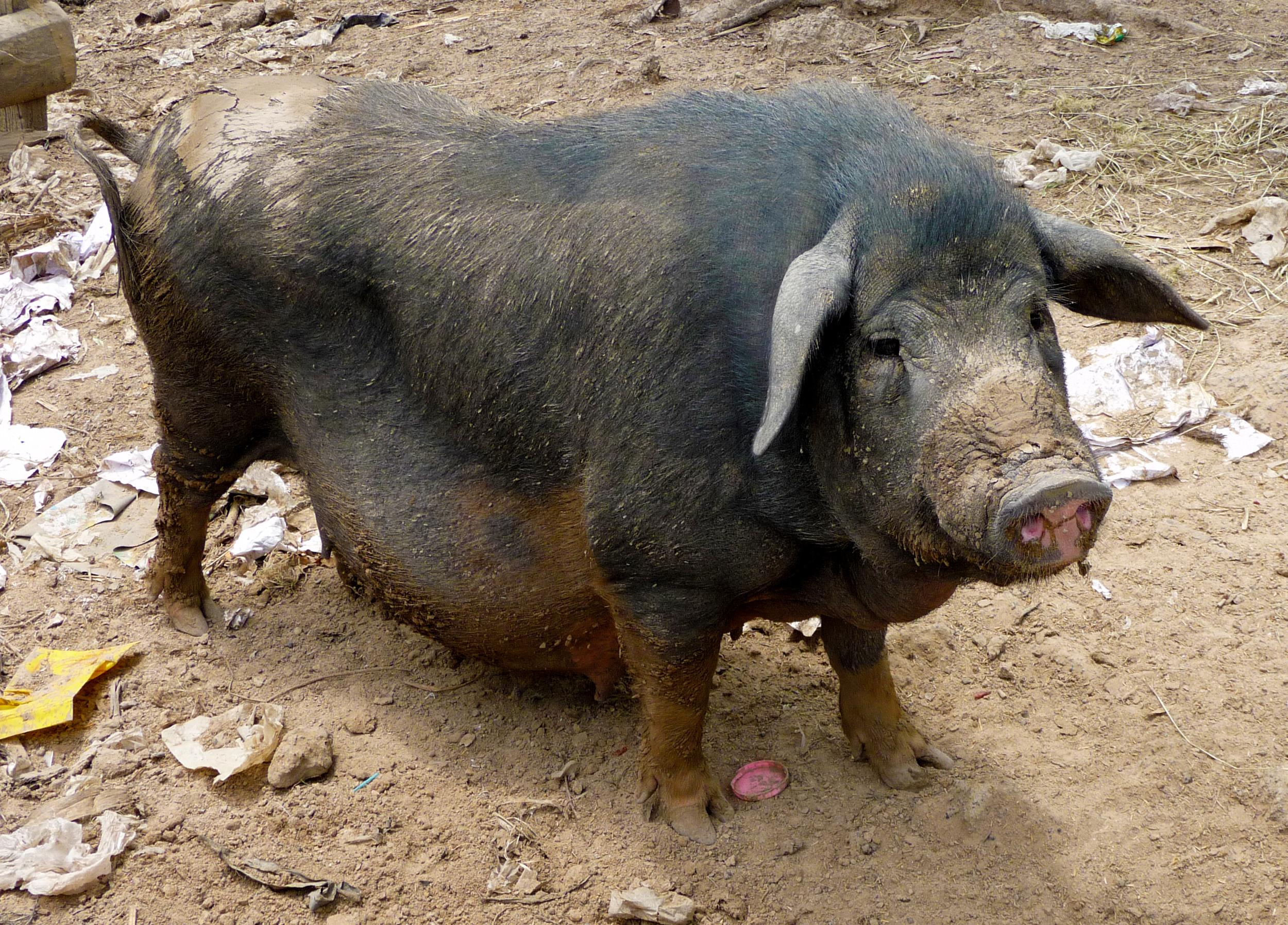 Pig03.jpg