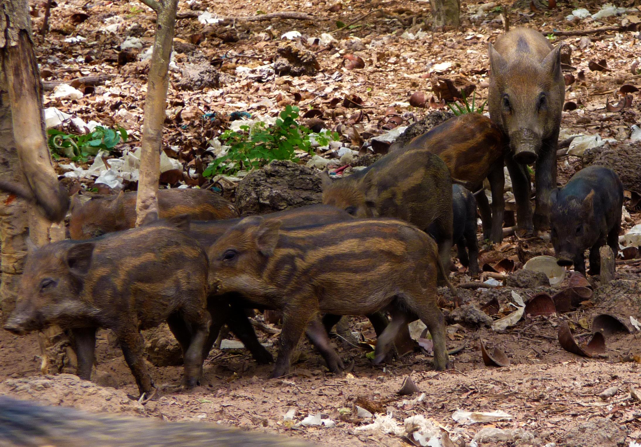 P0074 Pig02.jpg