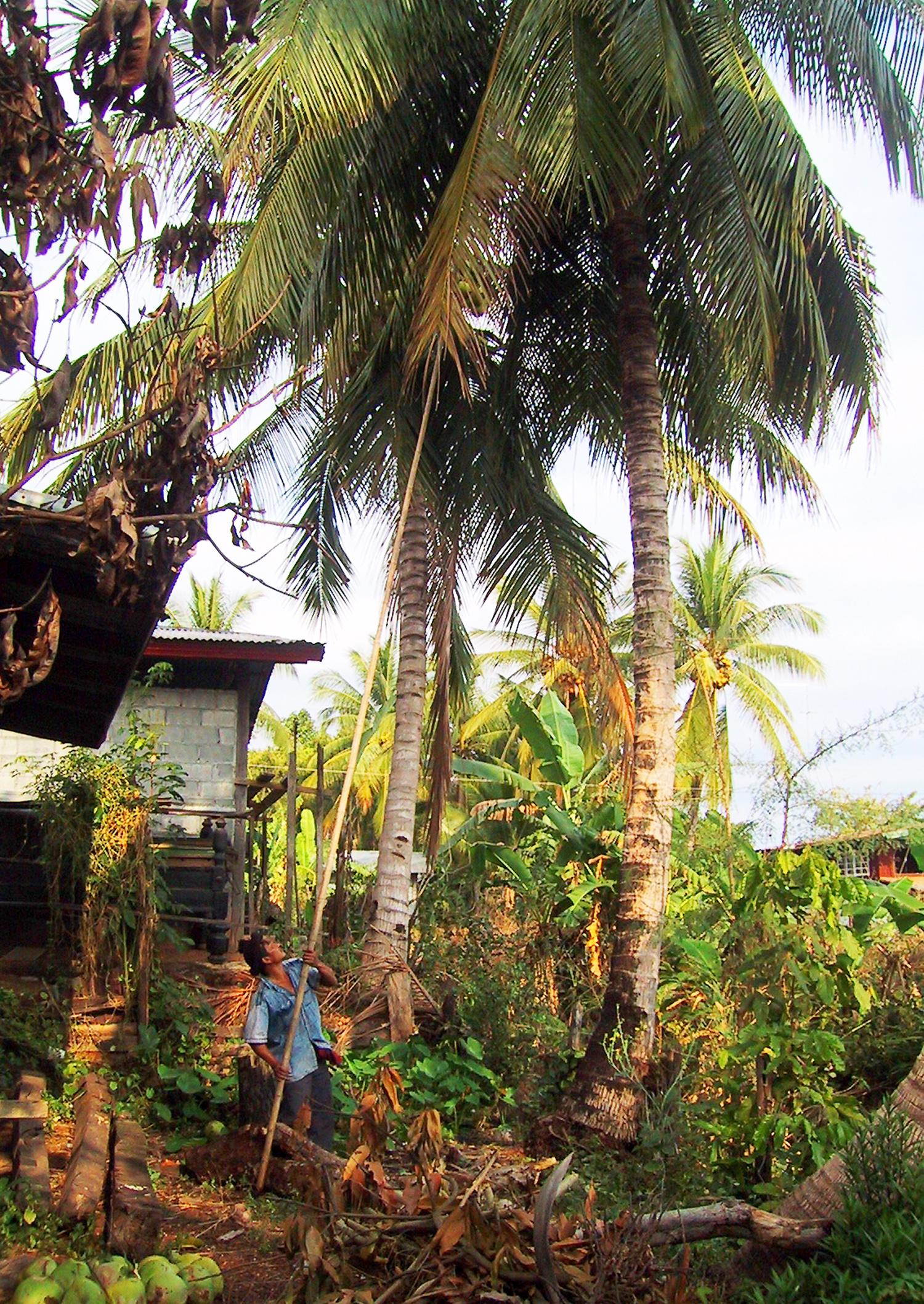 P0611 Coconut02.jpg
