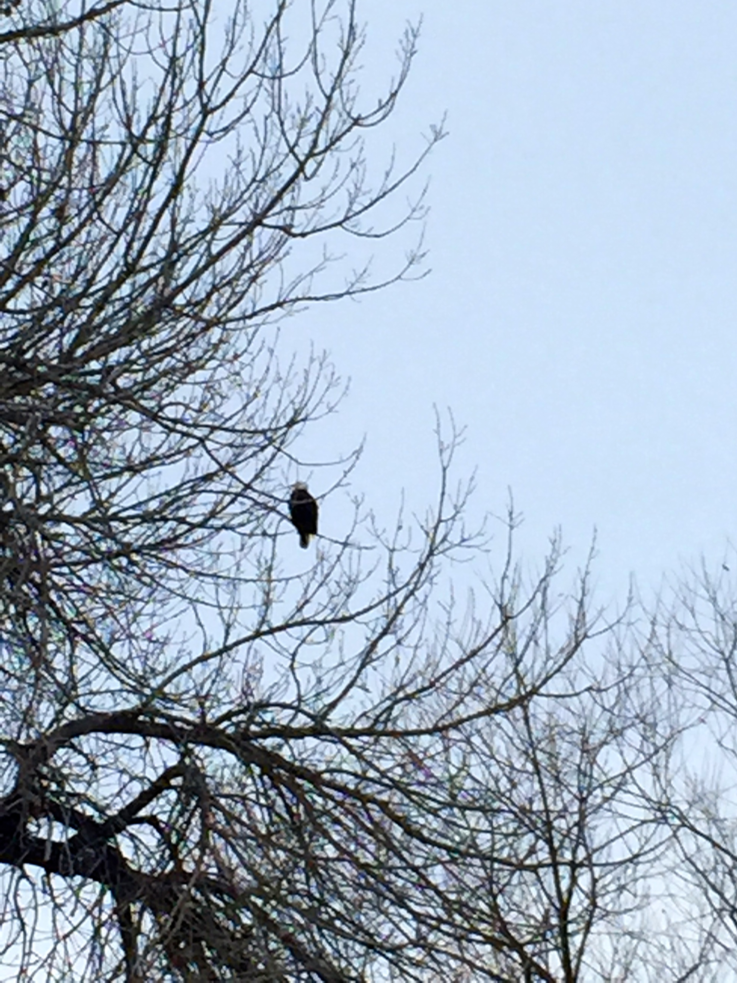 Resident bald eagle