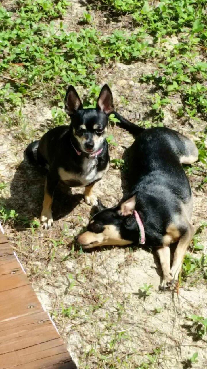 """Stella Star"" & ""Bella Luna"", both three-legged rescued Chihuahuas belonging to Jenn Fletcher, SRB, FL"