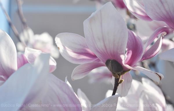 (naša razcvetena magnolija)