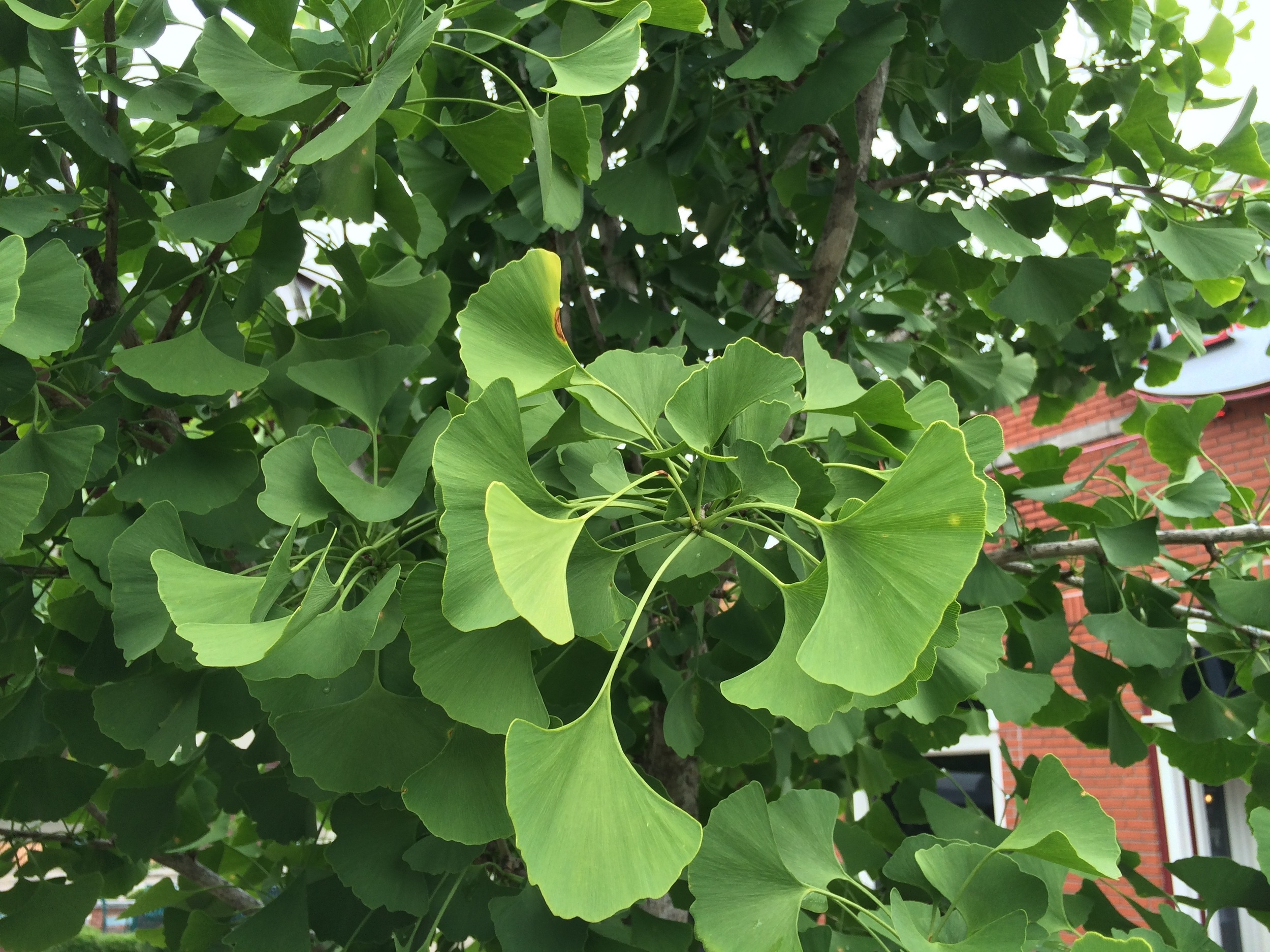 Gingko leaves in Cooper Young