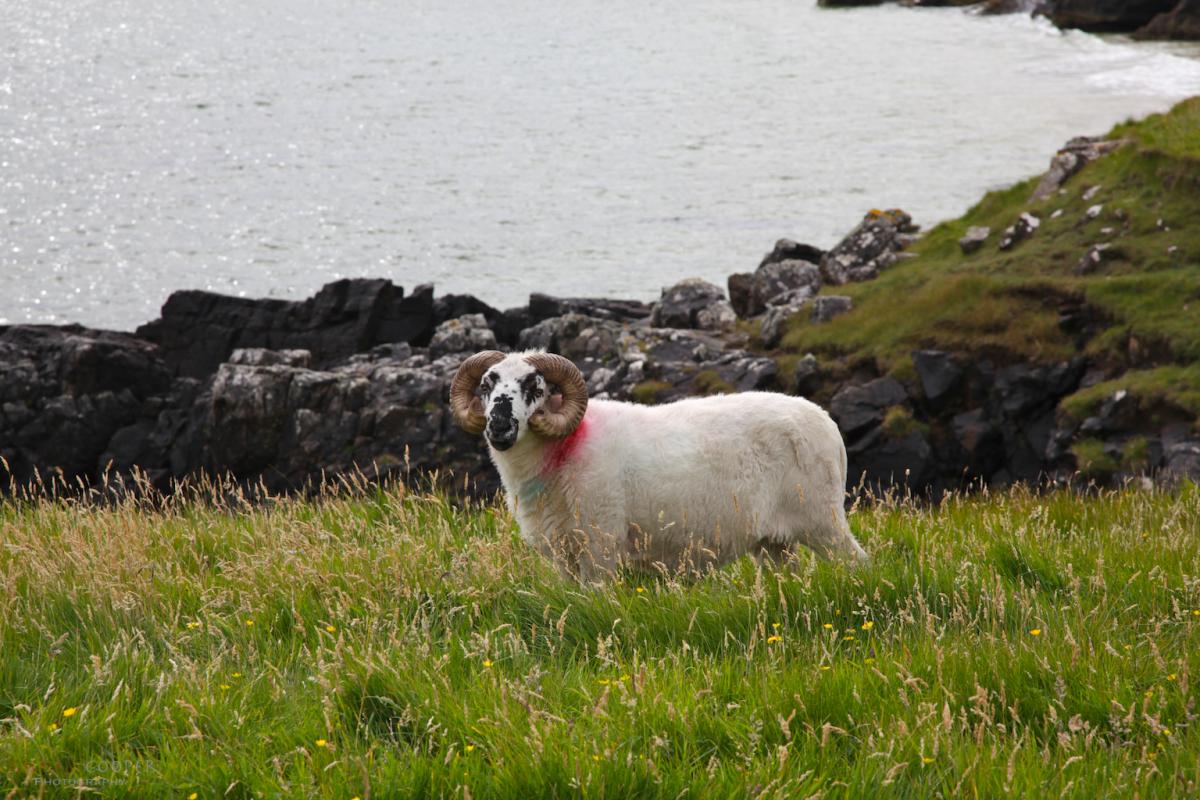 Posing sheep, Tolstadh beach