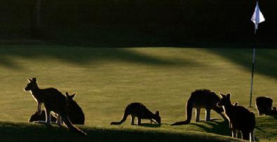 kangaroos 3.png