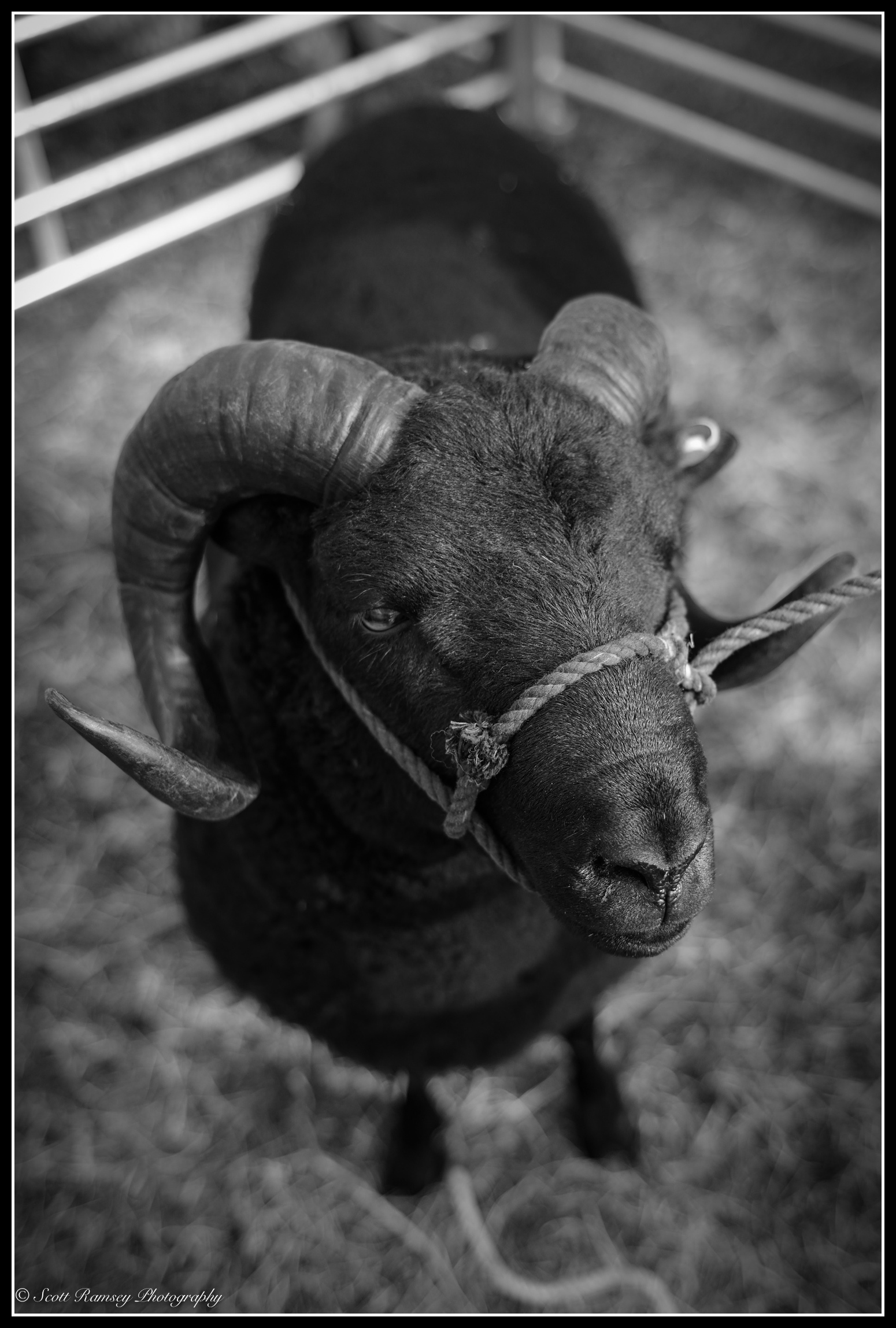A black sheep in a pen at the Findon Sheep Fair.