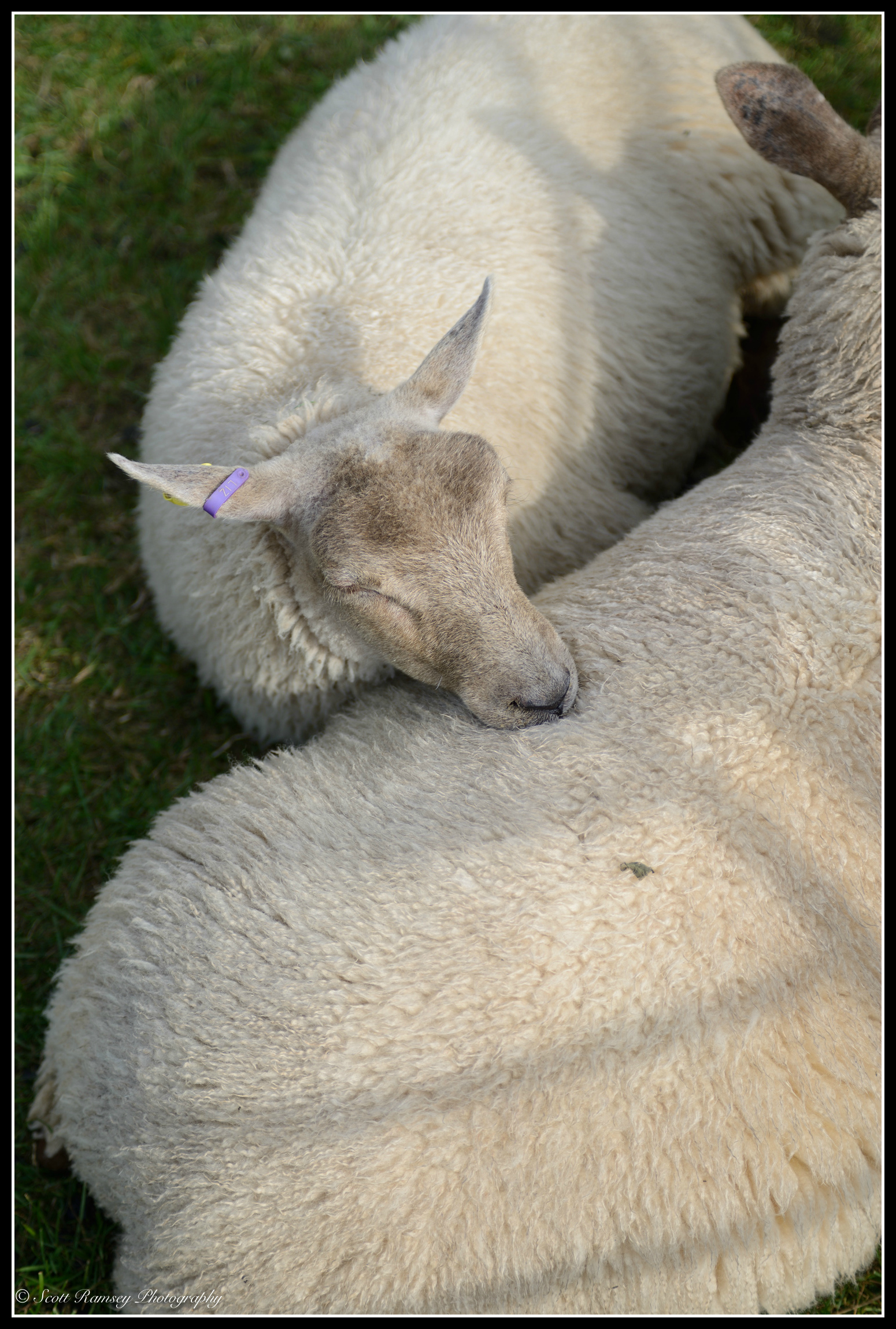 It's tiring looking your best all day. A sheep rests its head on another sheep whilst it sleeps in a pen during the Findon Sheep Fair in West Sussex.