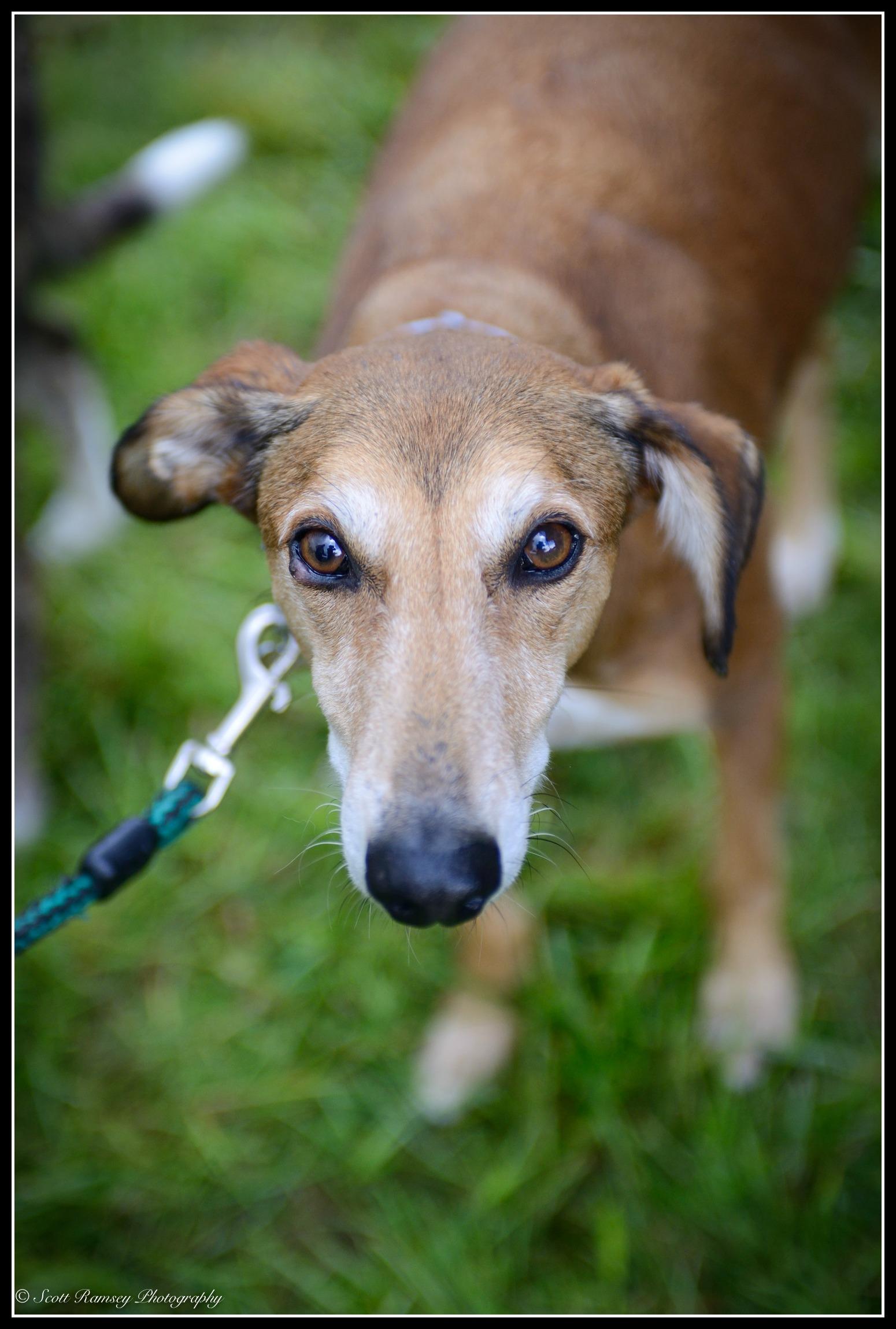 A lurcher dog called Little Prince Elmer.
