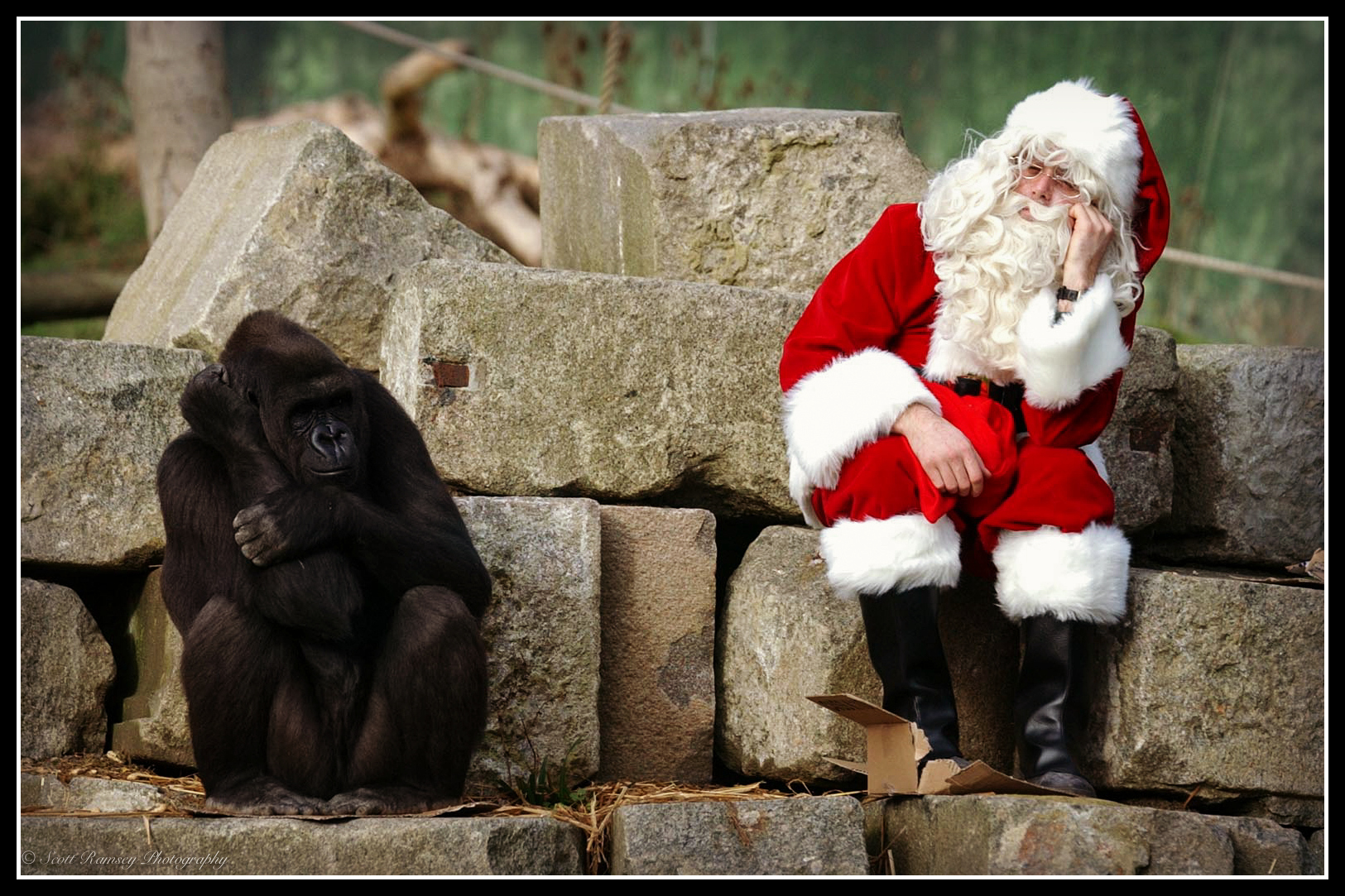 Father Christmas sits next to Emmie a hand reared Western Lowland Gorilla during a Christmasphoto shoot at Port Lympne Wild Animal Park in Kent. Don't be fed up you two its Christmas!