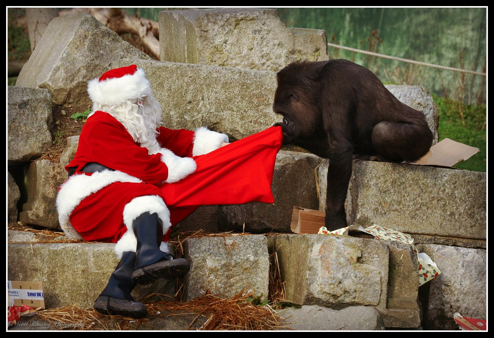 Emmie a 10 year old hand reared Western Lowland Gorilla at Port Lympne Wild Animal Park in Kent has a look in Father Christmas's present sack.