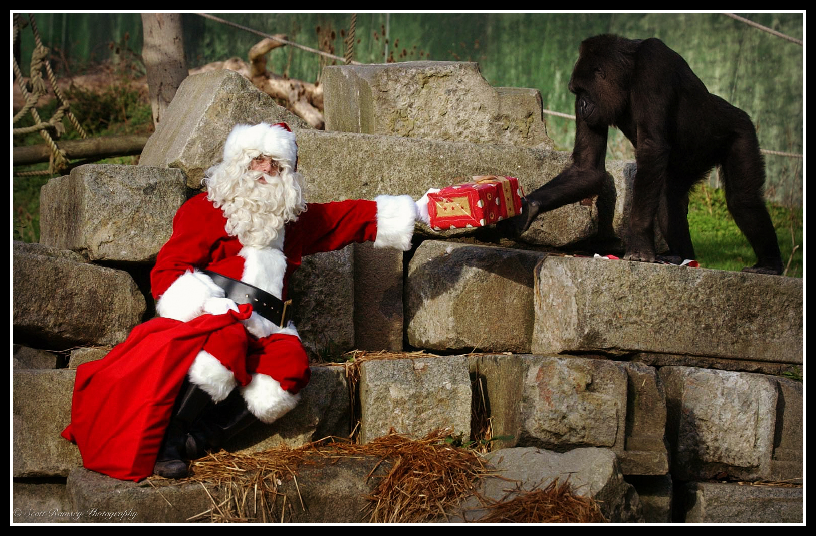 Father Christmas hands Emmie a 10 year old hand reared Western Lowland Gorilla at Port Lympne Wild Animal Park in Kent a christmas present.