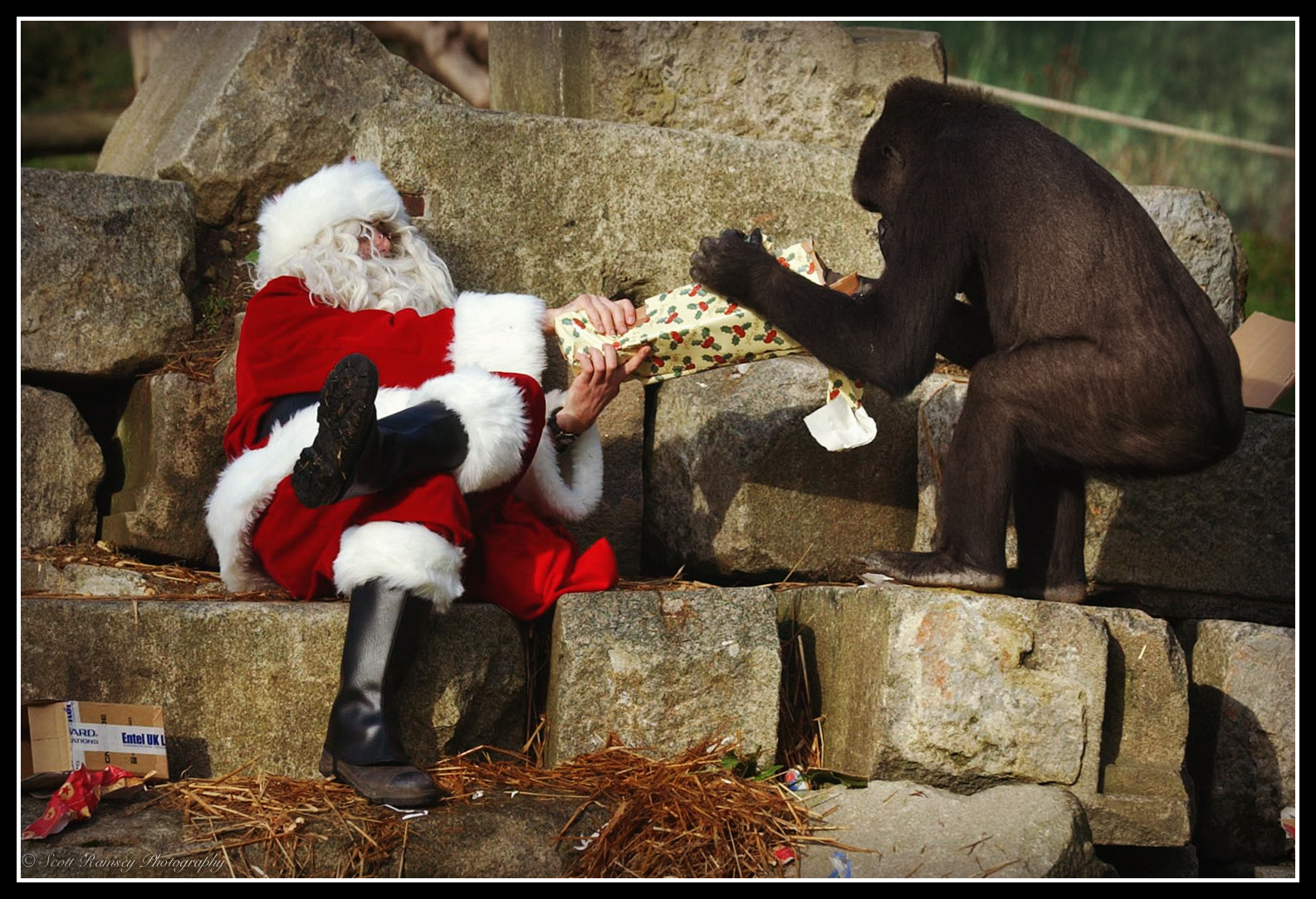Father Christmas helps Emmie a 10 year old hand reared Western Lowland Gorilla at Port Lympne Wild Animal Park in Kent open her Christmas present.