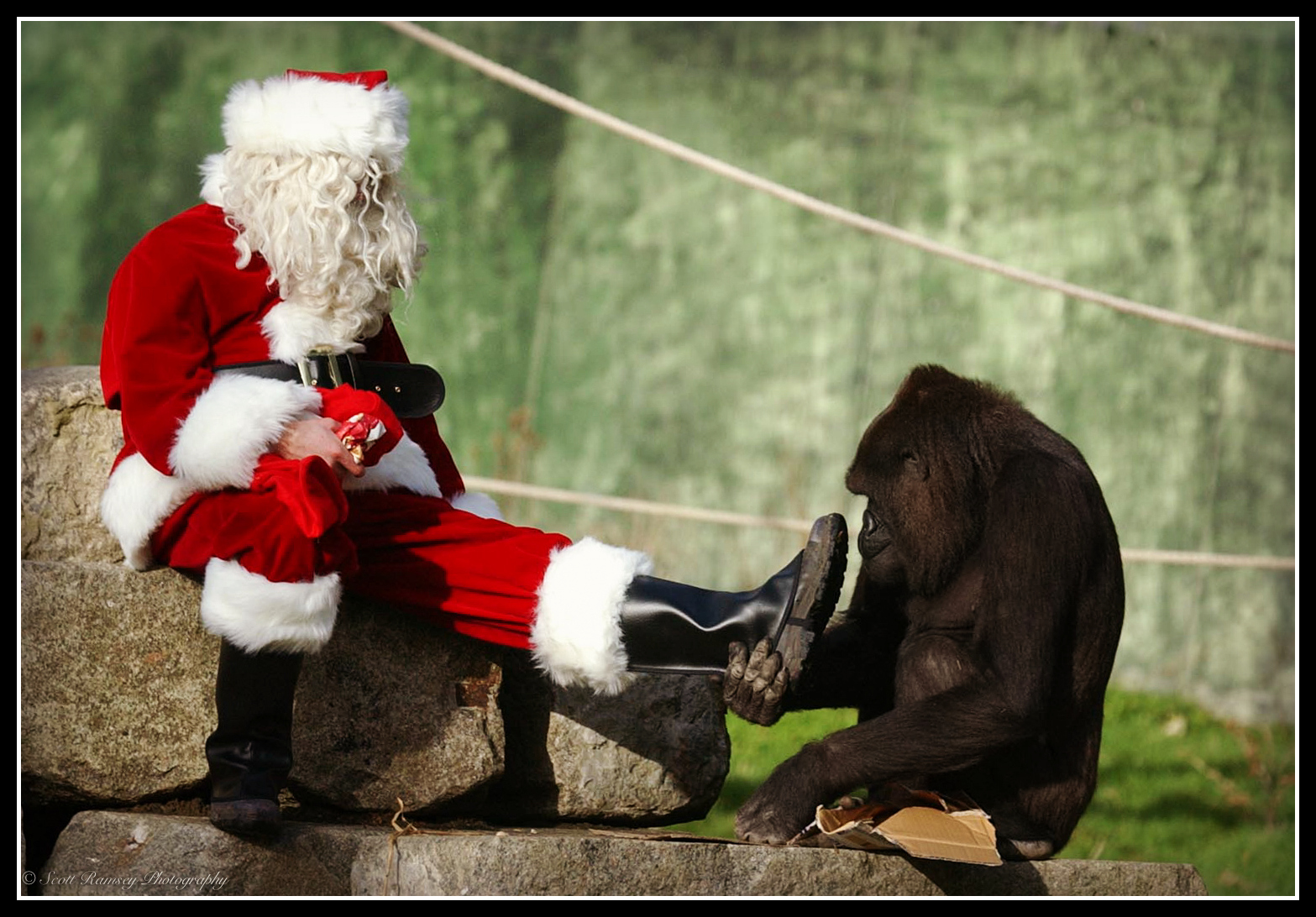 After receiveing her Christmas presents from Father Christmas Emmie a 10 year old hand reared Western Lowland Gorilla at Port Lympne Wild Animal Park in Kent likes the look of Santa's boots.