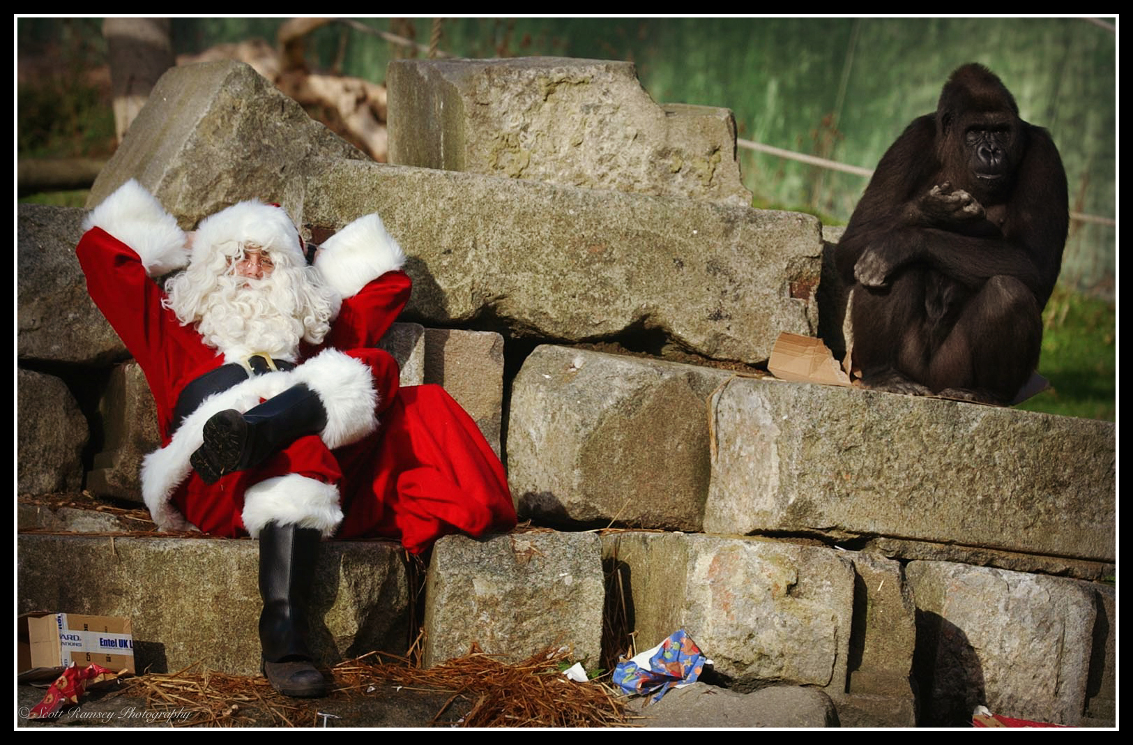 Christmas time can be hard work. Father Christmas and Emmie a 10 year old hand reared Western Lowland Gorilla at Port Lympne Wild Animal Park in Kent have a rest.