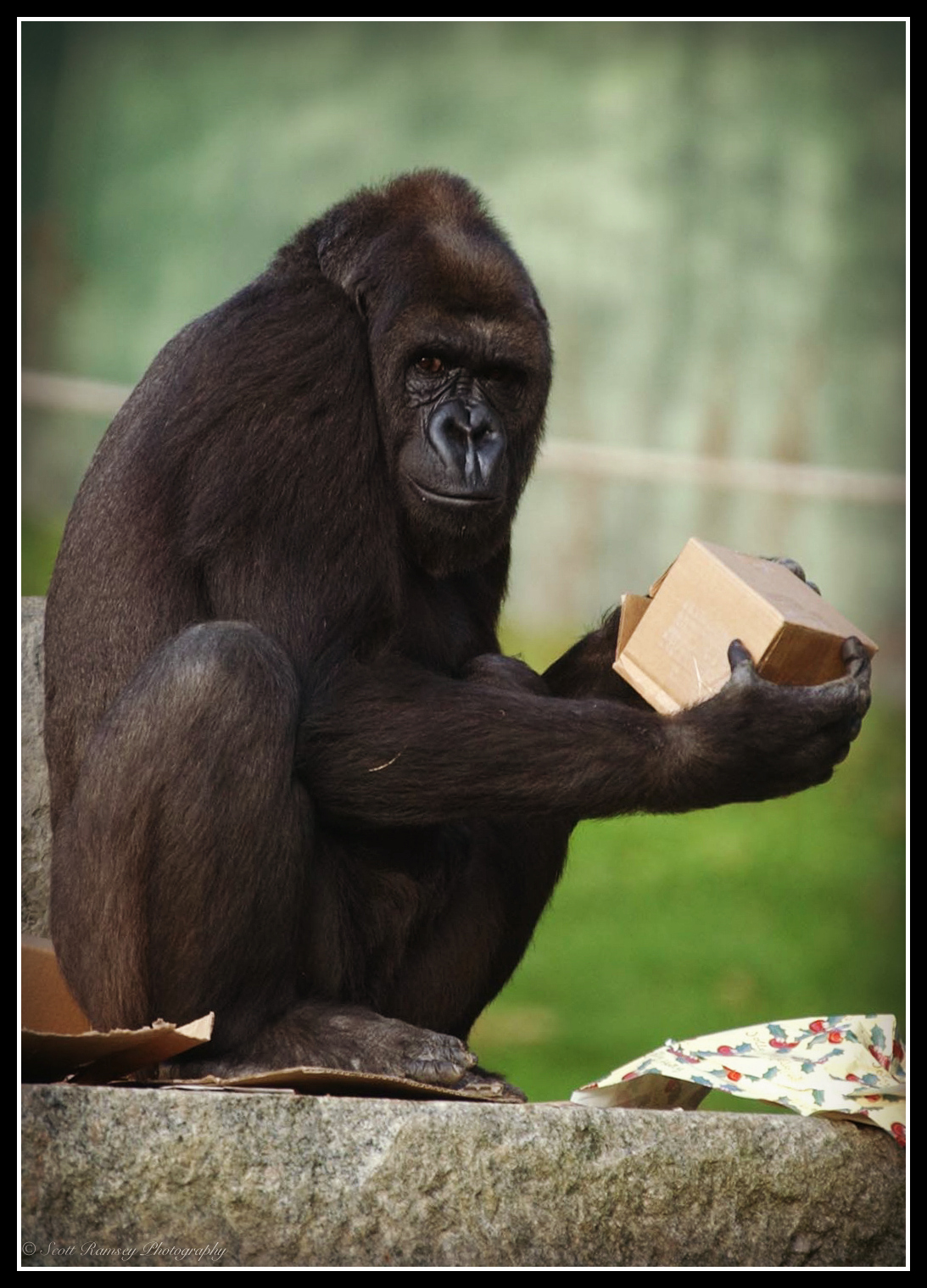 Emmie a 10 year old hand reared Western Lowland Gorilla at Port Lympne Wild Animal Park in Kent prefers to play with an empty box and wrapping paper rather than the presents Father Christmas has just delivered.