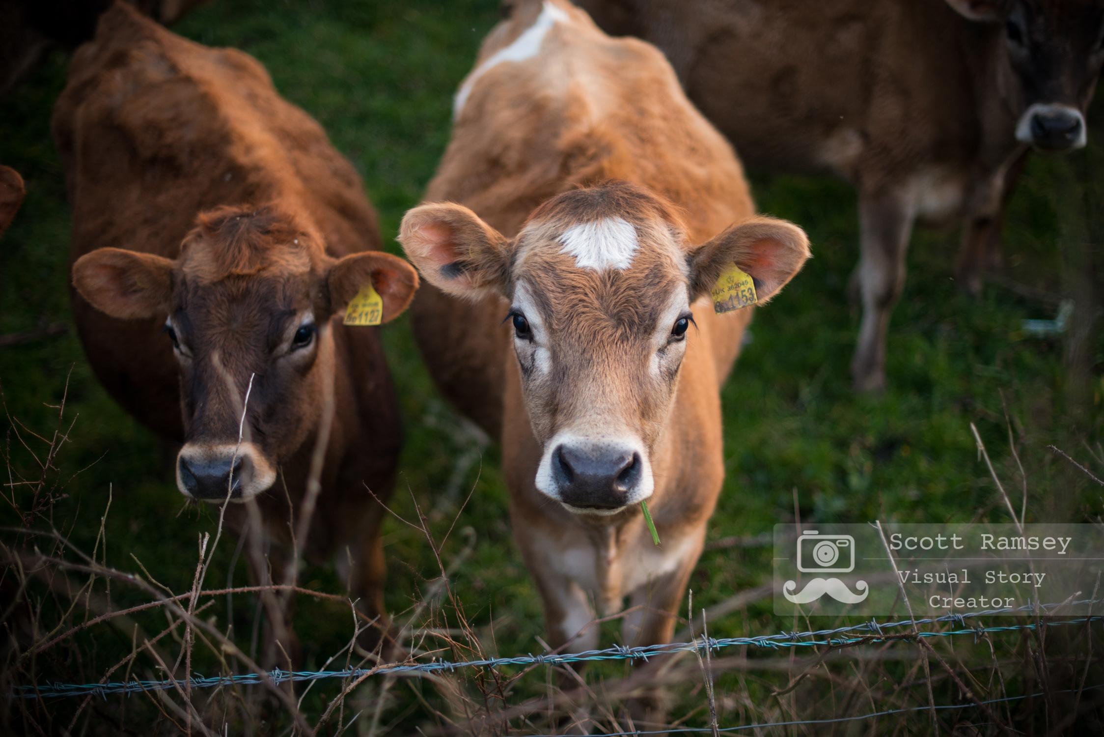 Calves stand in a farmers field in South Hams, Devon, England. © Scott Ramsey
