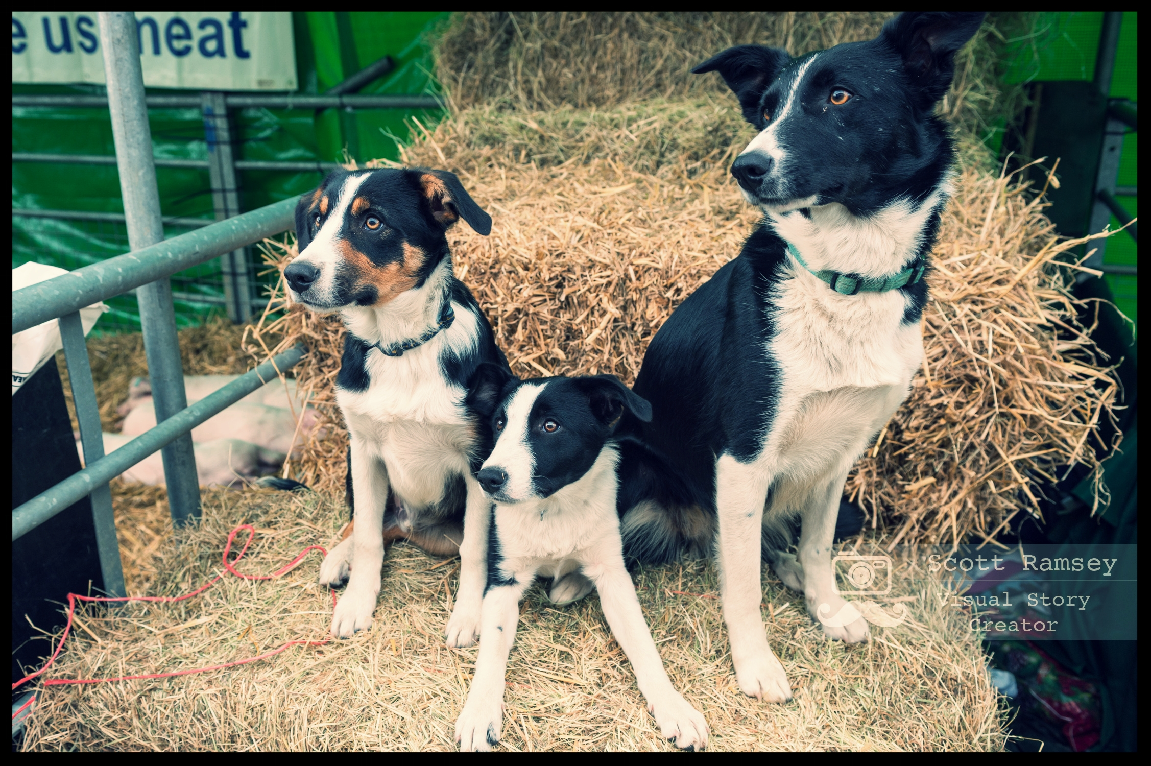 Brighton Photographer Scott Ramsey on assignment at the South Of England Show. A sheepdog and her puppies pose for a photo on a hay bale at the South Of England Show. Photo © Scott Ramsey