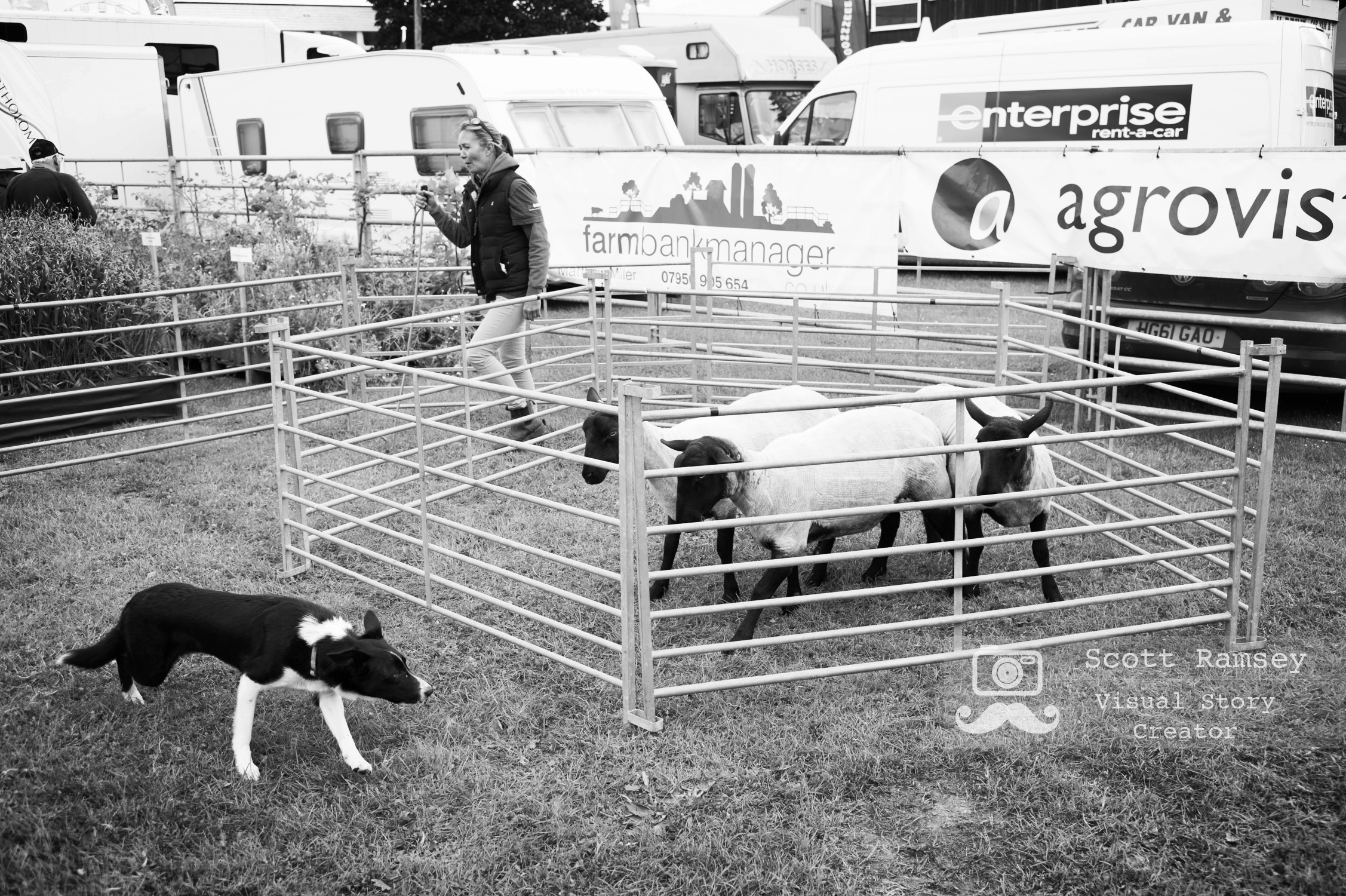 Sheep dog demonstration at the 2017 South Of England Show. Photo © Scott Ramsey